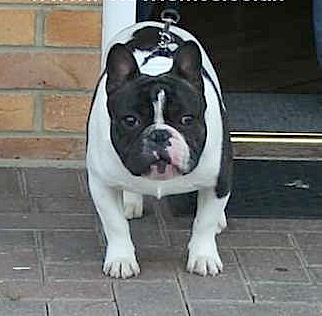 Small_Pied-French-Bulldog@Stud-1378